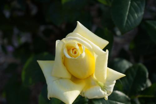 茨木のバラ・ランドラのアップ