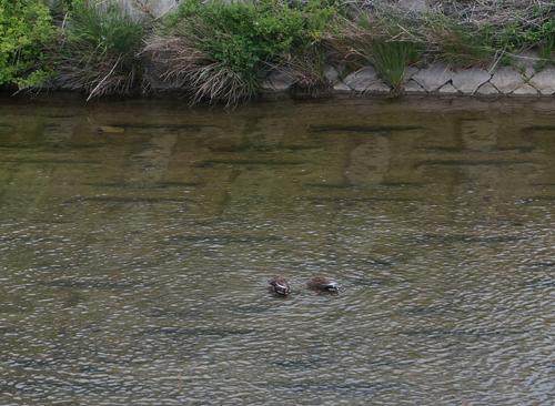 安威川の水鳥