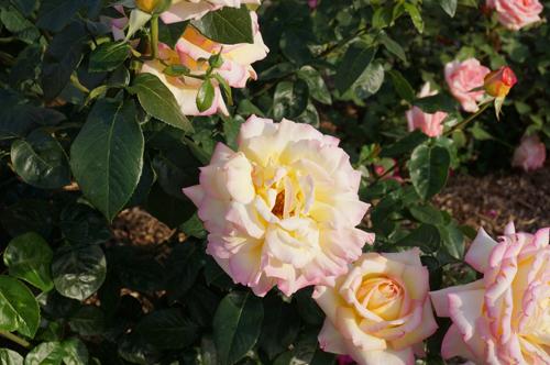 横浜のバラ・はまみらい