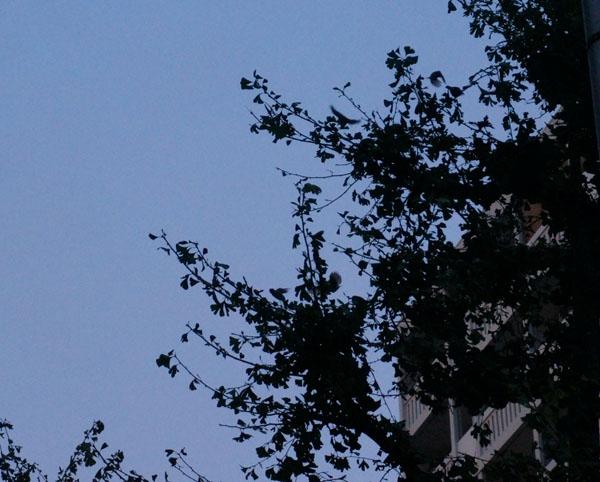 木にムクドリDSC06210