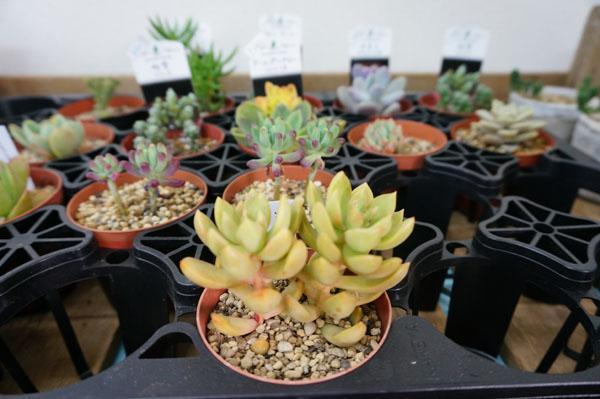 RojiPlantsの多肉植物