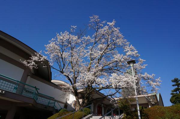 弁天さん本堂横の桜