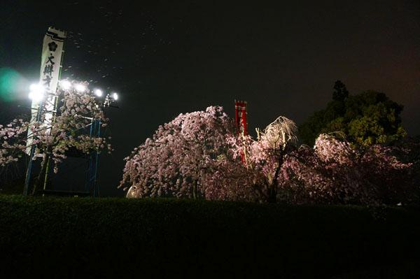 弁天桜が散る2DSC00396