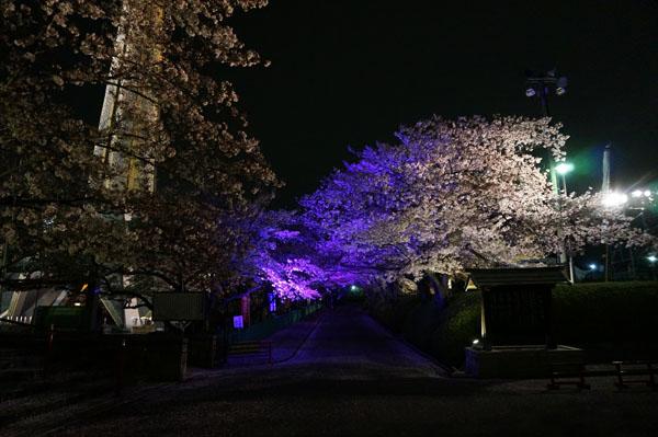 弁天桜のトンネル紫DSC00378