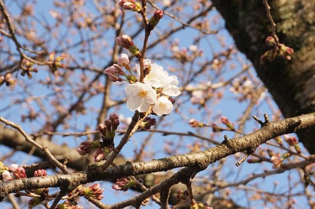 辯天さん本堂そばの桜アップ