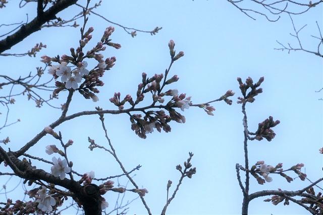 辯天さんの桜アップ