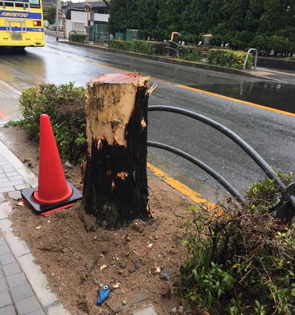 中央通りセンダンの木カット