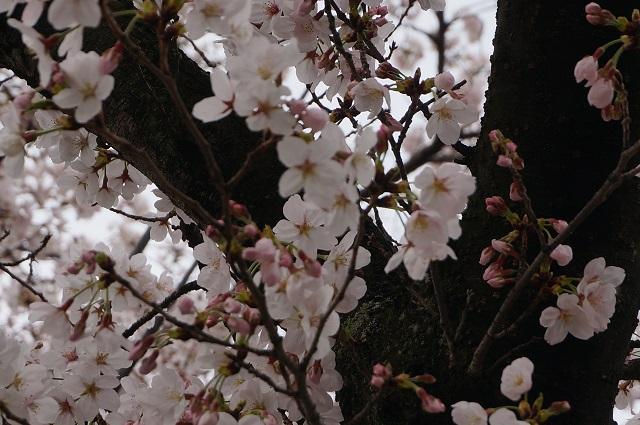 新庄ガードレールそばの桜