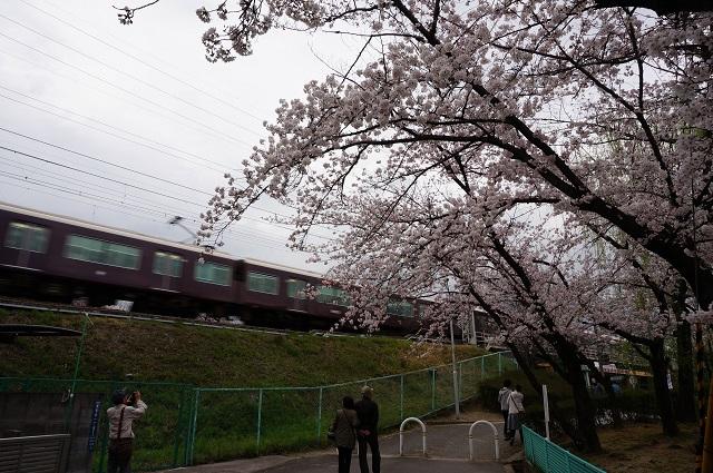 新庄ガードレールそばで桜と電車
