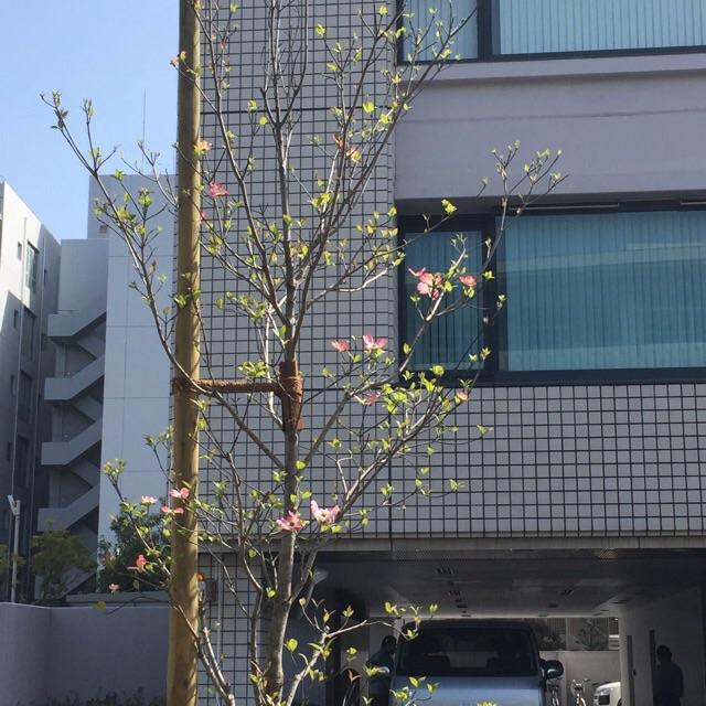 4月初旬のピンクのハナミズキ