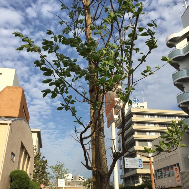 4月初旬市役所そば街路樹
