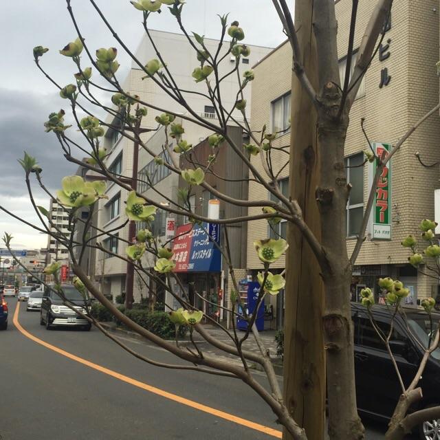 4月4日ハナミズキの開花