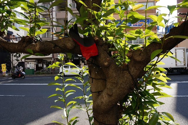 エキスポロード沿い植樹に手袋
