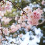 桜通りの寒桜アップDSC04957