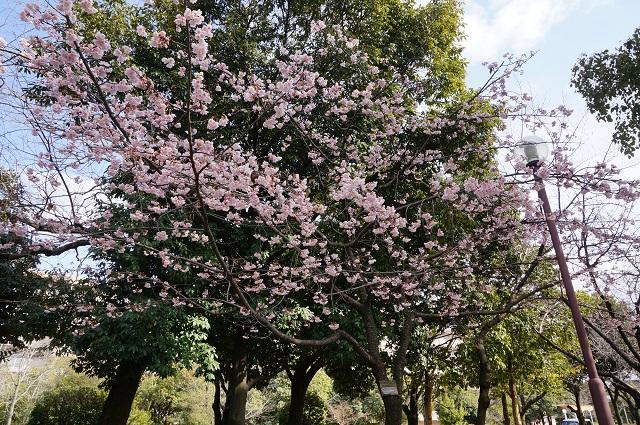 桜通りのカンザクラが咲いてるDSC04955