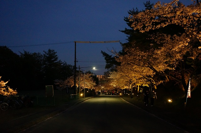 弁天夜桜2017ライトアップDSC05361