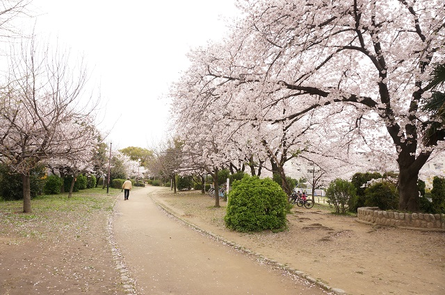 元茨木川緑地の桜の様子2017DSC05306