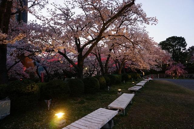 弁天夜桜ライトアップ境内DSC05345