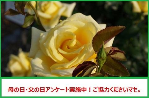 2バラ母の日アンケートバナー865c4b58d475da32fe2a26df6550b374