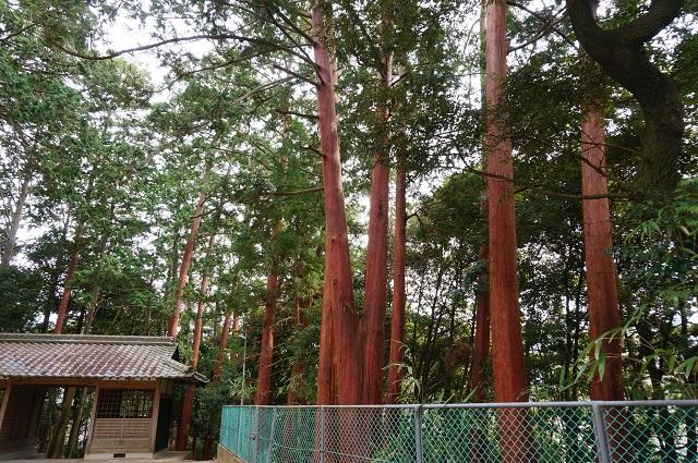 見山の郷の神社の木DSC05182