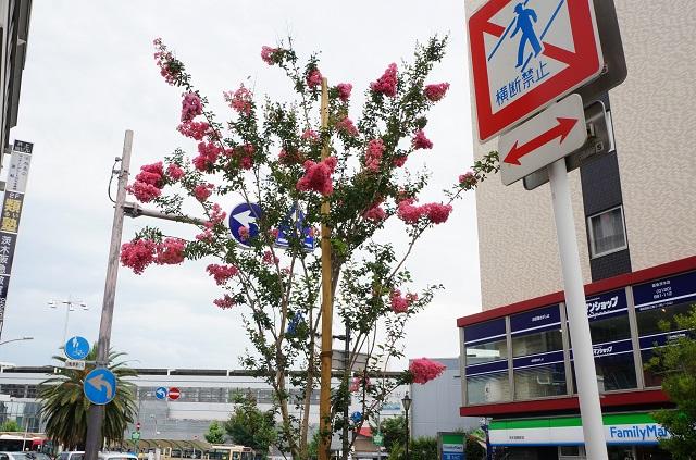 阪急茨木でさるすべりの木DSC07732