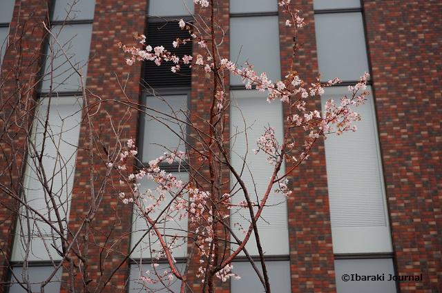 立命キャンパス花