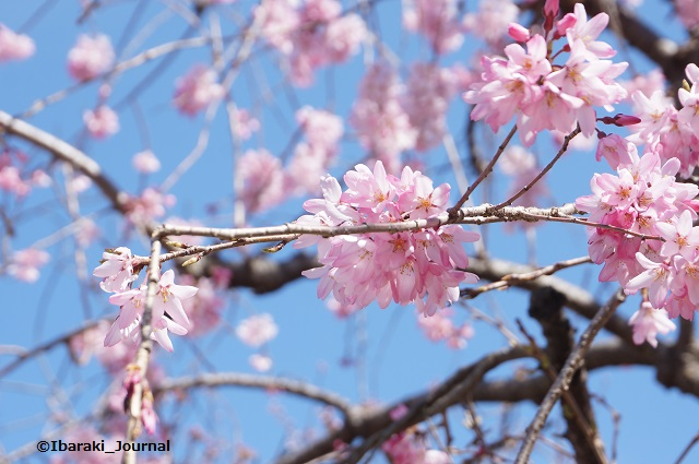 元茨木川緑地川端通り沿いしだれ桜DSC02707
