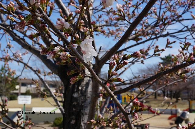 0324水尾公園桜はまだつぼみDSC02667