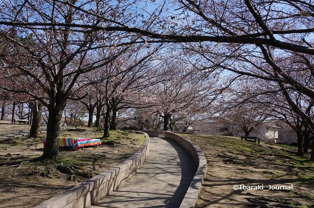 0324水尾公園お花見できそうDSC02668