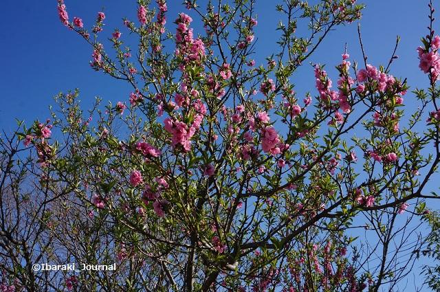 0324桑田公園桜3DSC02635