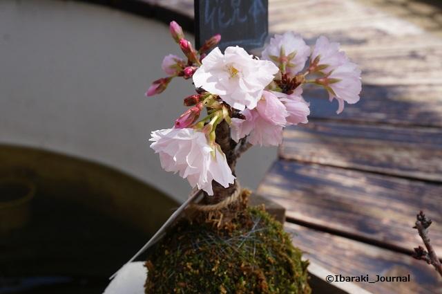 ザファーム一才桜DSC02578