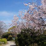 元茨木川緑地さくら通りコヒガンDSC02694