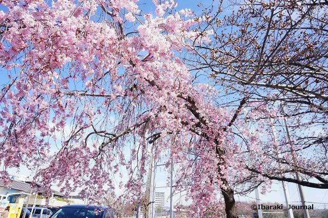 0324水尾公園入口桜DSC02665