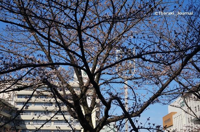 0324市役所そば桜DSC02626