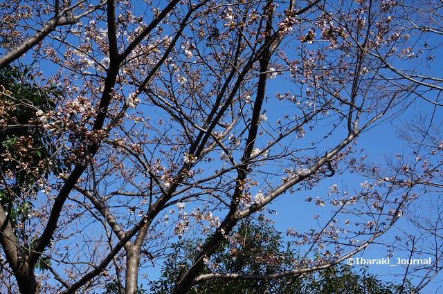 0324桑田公園桜DSC02631