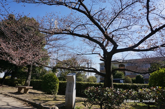 元茨木川緑地みどりの百選の桜DSC02689