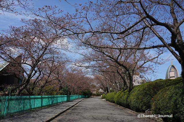 弁天さん境内の桜DSC02602