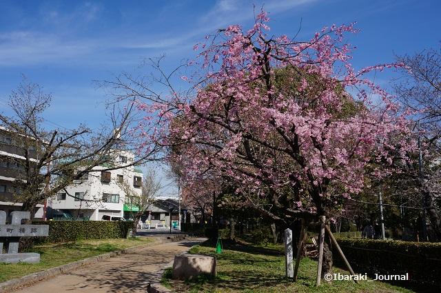 元茨木川緑地税務署のほうのしだれ桜DSC02703