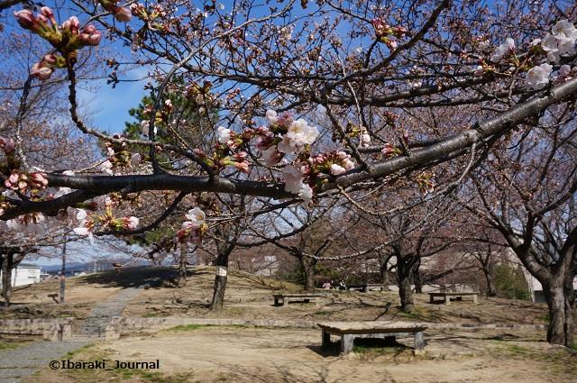 0324水尾公園桜の様子DSC02671