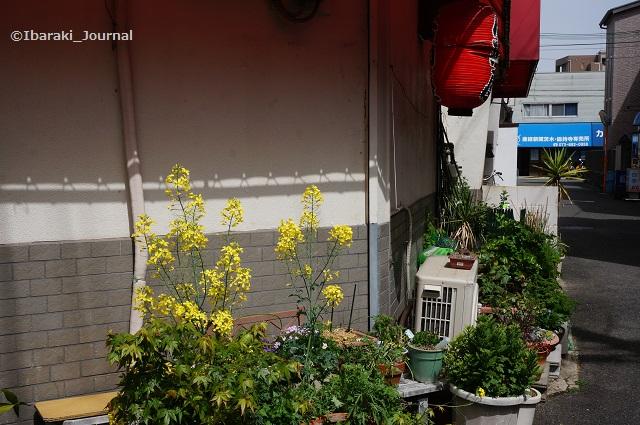 総持寺菜の花DSC03858
