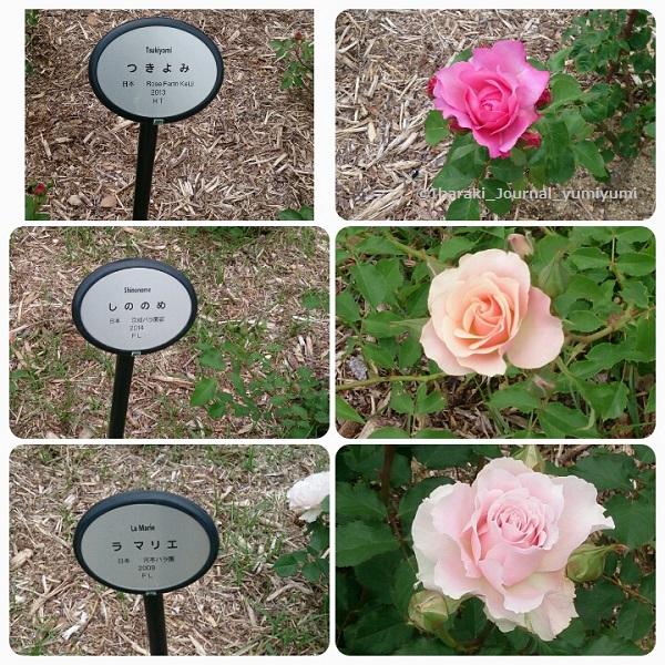 バラ園花の種類320180502_145535