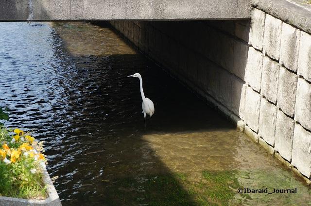 竹橋町車止めのところで水鳥DSC04511