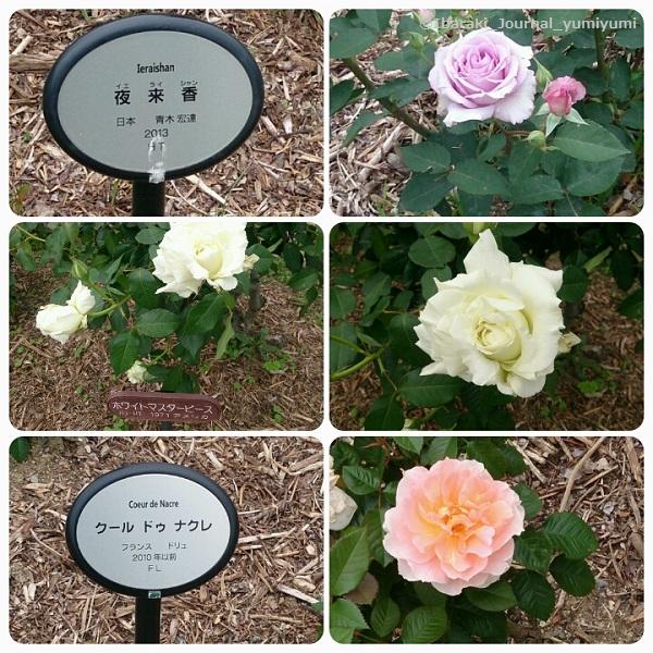 バラ園花の種類220180502_145639