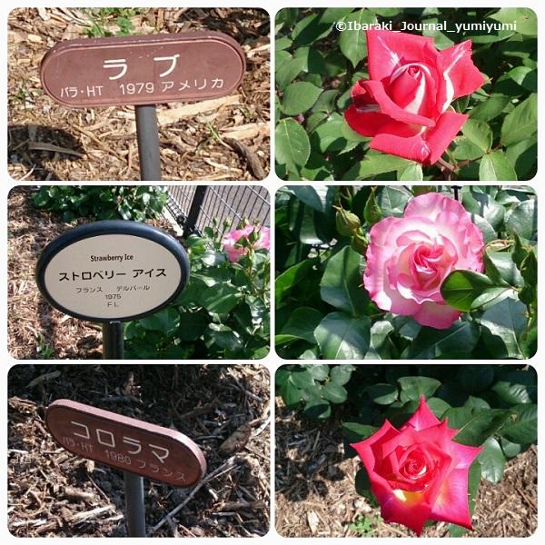 バラ園花の種類420180502_150453