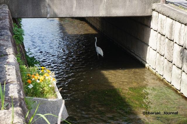 竹橋町車止めのところで水鳥2DSC04513