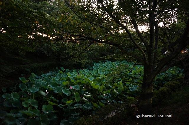 0803夕方蓮の花DSC05710