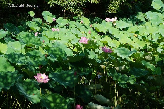 0803辯天蓮の花DSC05666