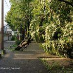 0905桜通りの木が倒れてるDSC06065