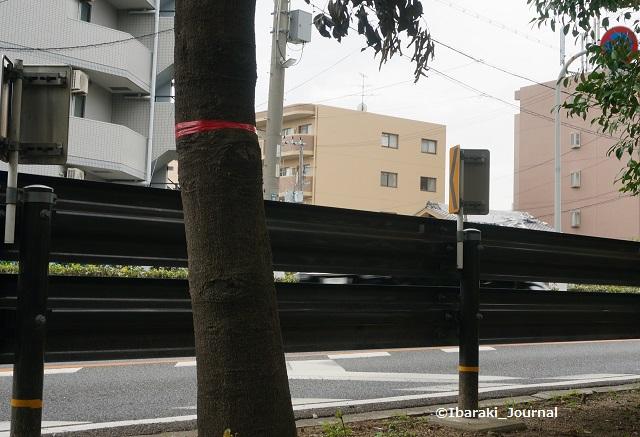 0913川端通りで赤いテープの木DSC06280