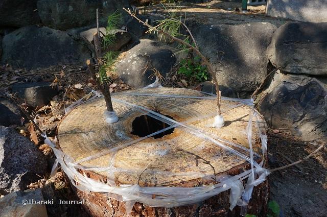 茨木神社そばの松の木DSC06995